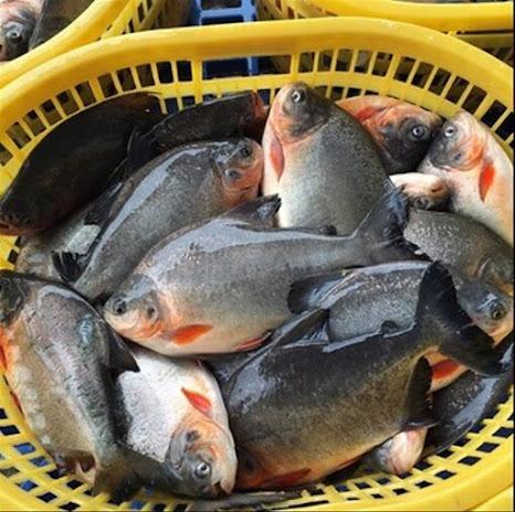 Inilah Harga Supplier Jual Ikan Bawal Bibit & Konsumsi di Ambon, Maluku