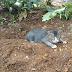 Kucing sayang tuannya, sanggup tunggu di atas kubur