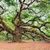 ओक पेड़ के बारे में 21 अद्भुत जानकारी - Information About Oak Tree in Hindi
