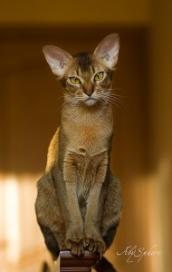 gambar kucing Abysinian