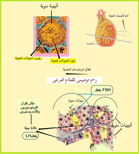 الغدة النخامية الهرمون المنبه للغدد التناسلية