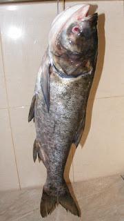 novac, peste novac, peste mare cu carnea alba, retete de peste, preparate din peste, retete culinare,