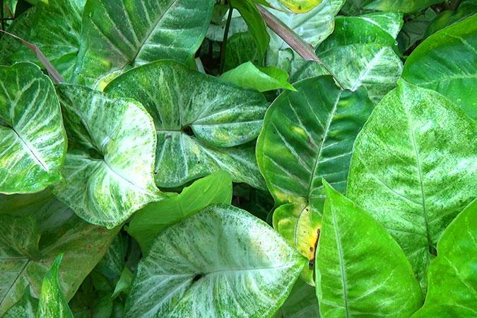 Dlium Arrowhead vine (Syngonium podophyllum)