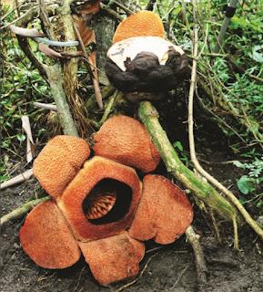 Rafflesia Mekar dan Bakal Bunga (Irawati,dkk.2017)