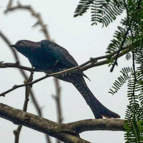 Indian birds - Image of Fork-tailed drongo-cuckoo - Surniculus dicruroides