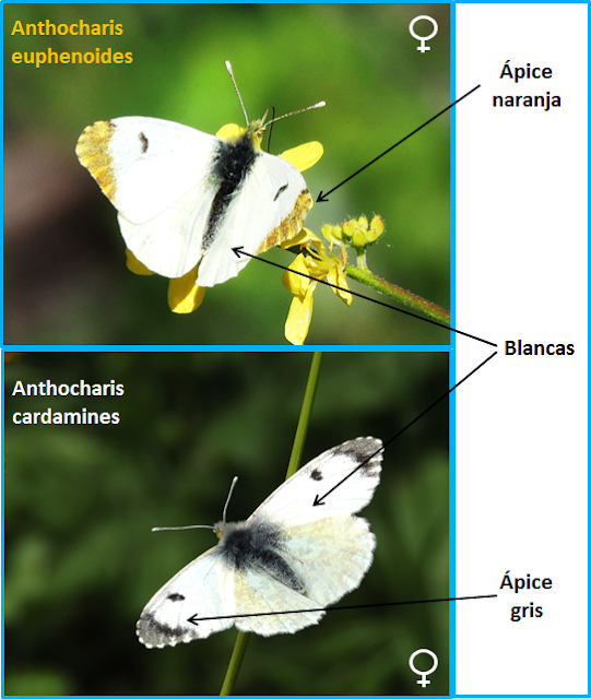 Diferencias entre hembras de Anthocharis euphenoides y cardamines