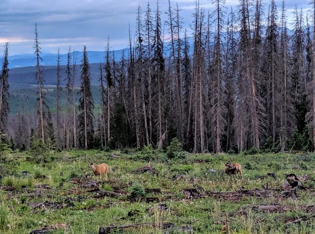 The deer are feeding in a meadow near Slumgullion Pass in Colorado.