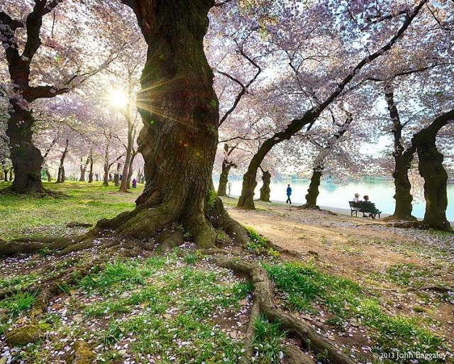 Chùm ảnh đẹp Hoa Anh Đào Nhật Bản vào tháng 02/2020 11