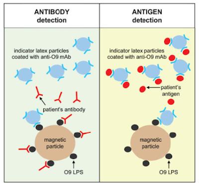 Kerja Tes Tubex dalam Mendeteksi Antibodi atau Antigen
