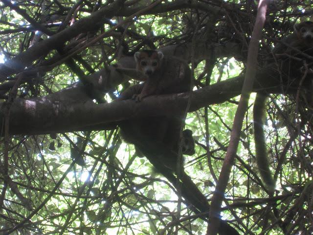 crowned lemur ankarna