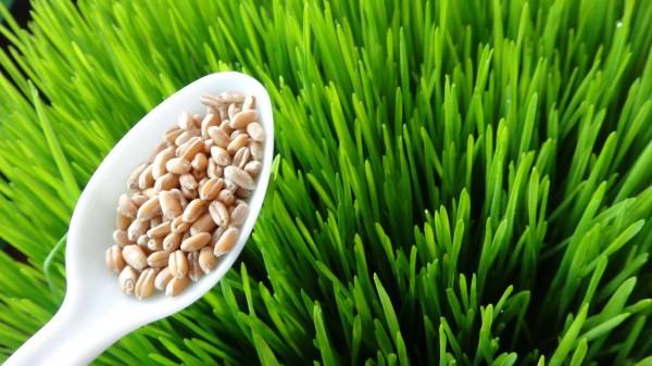 Wheatgrass lo mejor para tu Salud