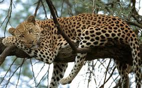 Perbedaan Antara Macan Tutul Dan Jaguar Aminoku