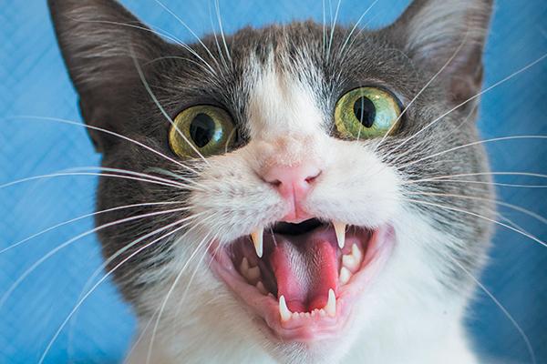 القطط لم تتعرض إلى تسوس الأسنان مثل البشر