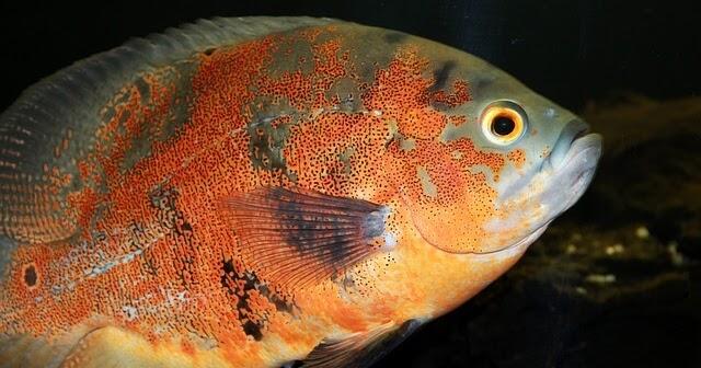 7 Makanan Ikan Oscar Yang Cocok Untuk Pertumbuhan Ikanesia Id