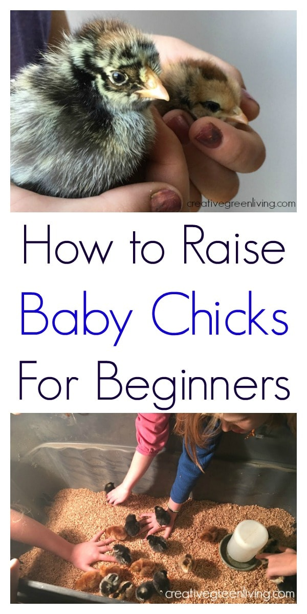 How to raise baby chicks - a complete guide to raising baby chickens