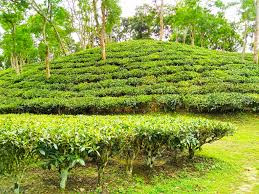 The Tea Most Popular Drink tea garden
