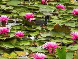 best for growing lotus