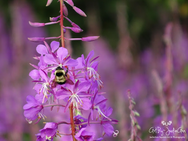Bees In Fireweed Field Photo