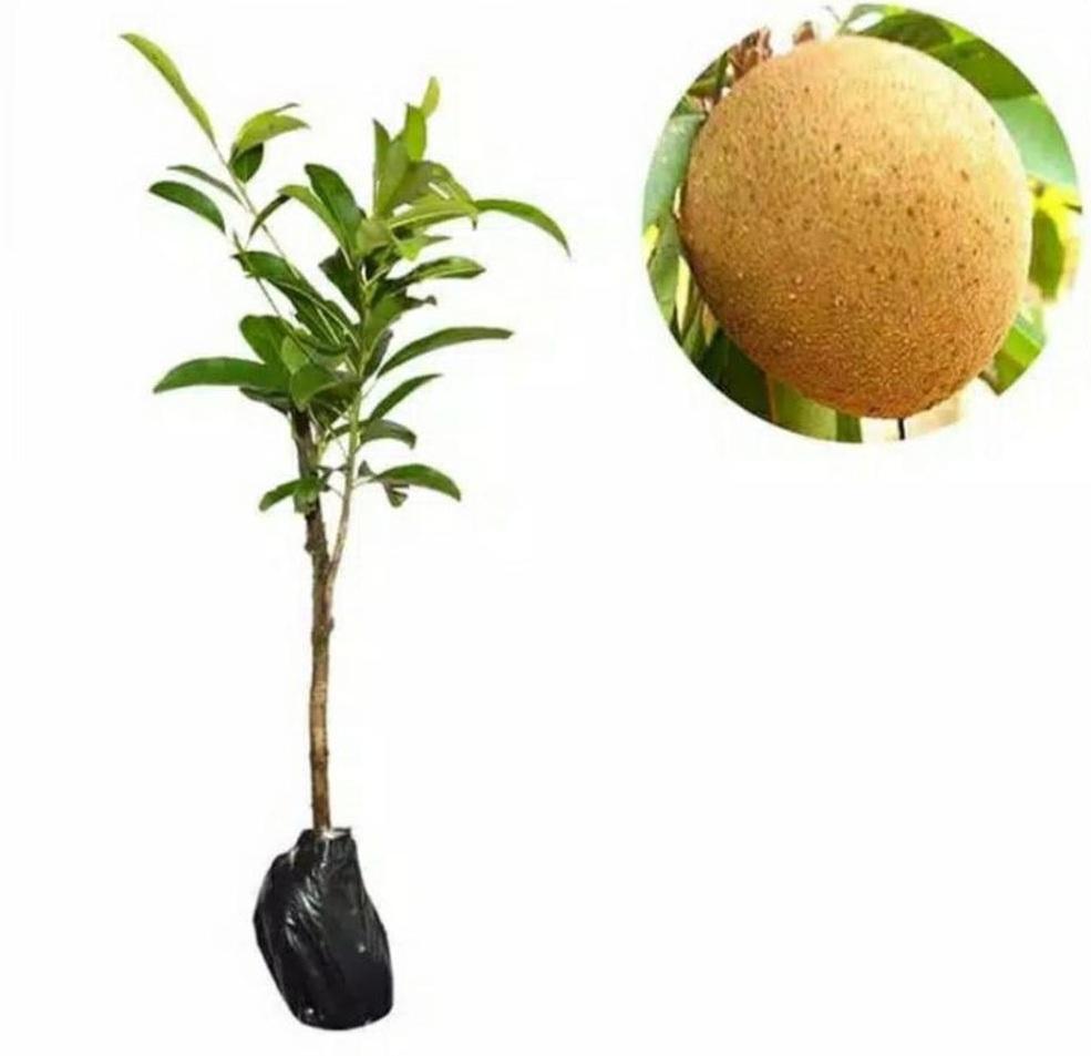 Laris! Bibit tanaman buah sawo manis jumbo Kota Surabaya #bibit buah genjah termurah