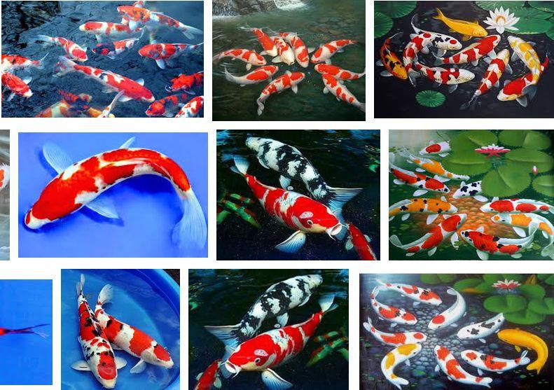 Gambar Ikan Koi-jenis ikan koi termahal