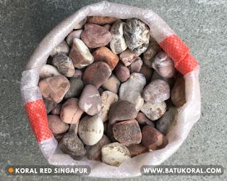koral red singapur