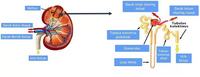 Sel-sel ginjal nefron fungsinya menyaring sebagian besar zat terlarut dari darah, menyalurkan air dan sebagian kecil zat terlarut ke tubulus ginjal untuk di modifikasi.