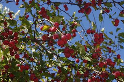 Malus fusca, manfaat buah crabapple untuk kesehatan