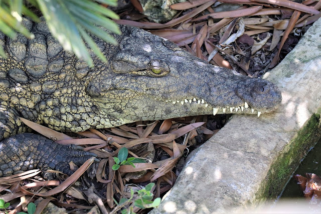 Crocodile Stood Still #DinosaurPark #Sudwala #SA #PhotoYatra #TheLifesWayCaptures