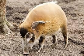 african swine flu china