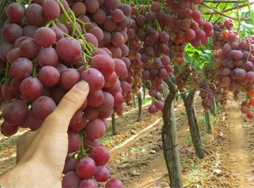 bibit anggur merah red master Mojokerto