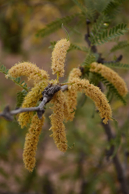small sunny garden, amy myers, sonoran desert, prosopis velutina, bloom