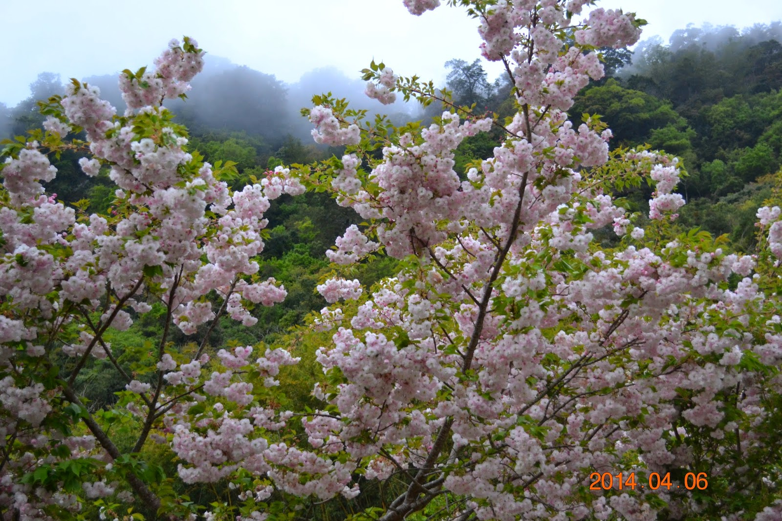 小范的山旅足跡: 鎮西堡賞松月櫻與關山櫻(二)
