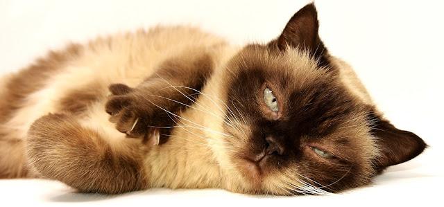 Cara Menggemukan Kucing Secara Alami