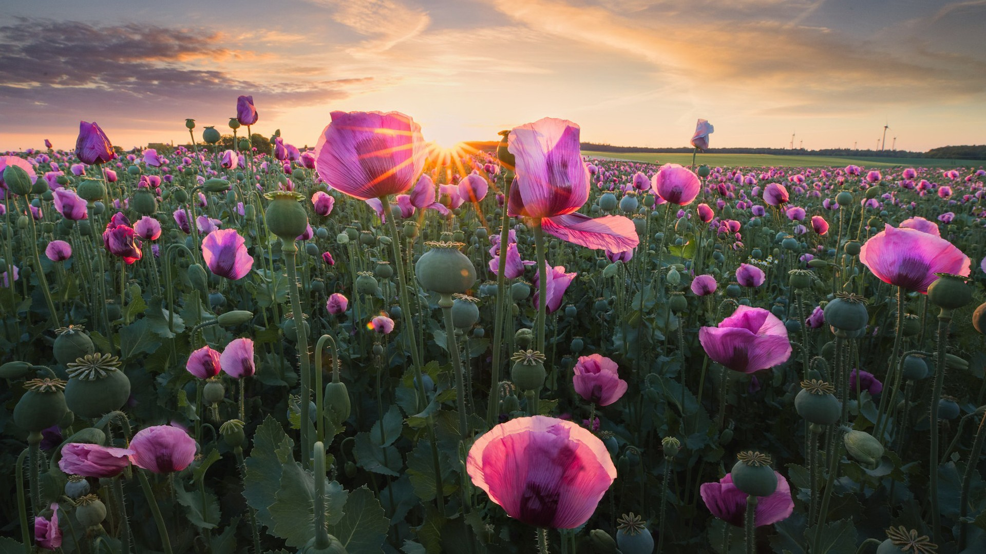 earth poppy pink flower during sunrise HD flowers Wallpaper