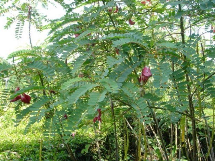 Trồng 200 cây so đũa chỉ lấy lá nuôi đàn dê béo