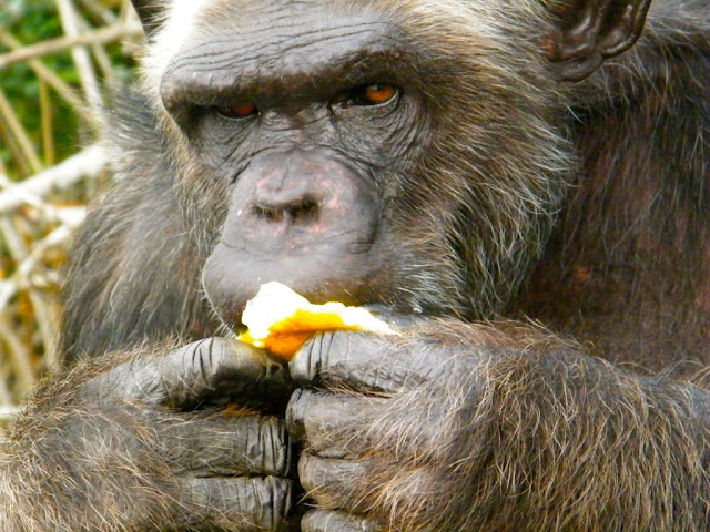 What grosses out a chimpanzee? The origins of disgust