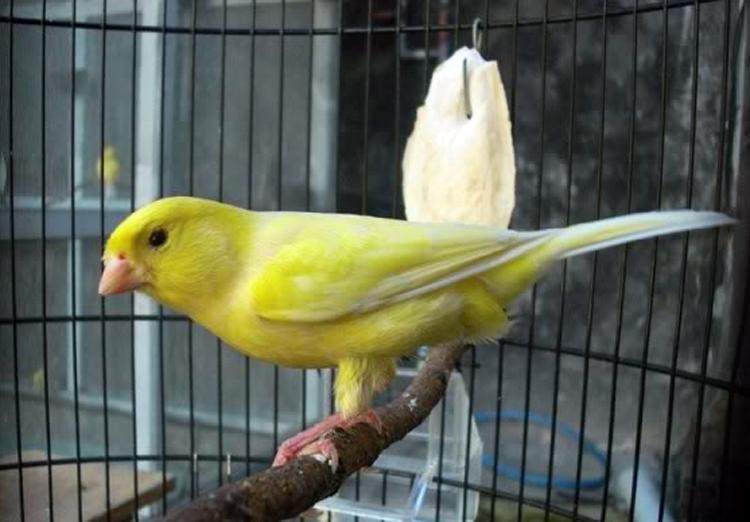 Daftar Lengkap Harga Burung Kenari di Pasaran Lokal