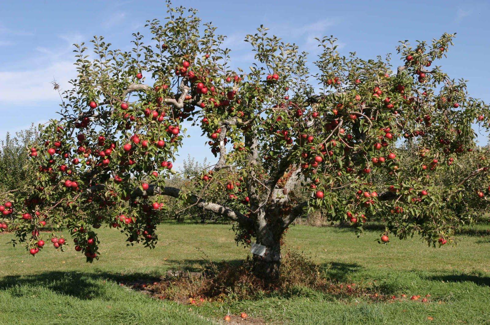 How To Prune An Apple Tree The Garden Of Eaden