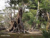 Tormented dead tree base - Kenroku-en Garden, Kanazawa, Japan