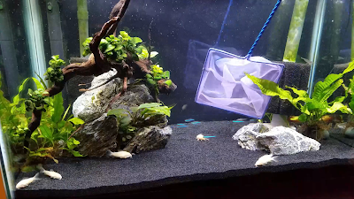 catching aquarium fish with a net in a planted tank