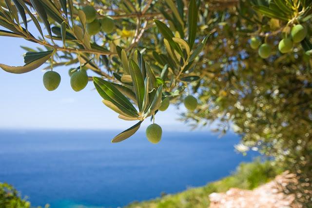 olive-albero-mediterraneo