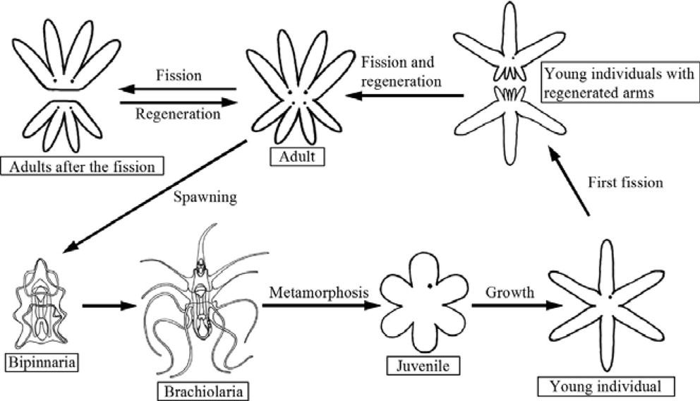 Advantages of asexual reproduction in starfish clipart