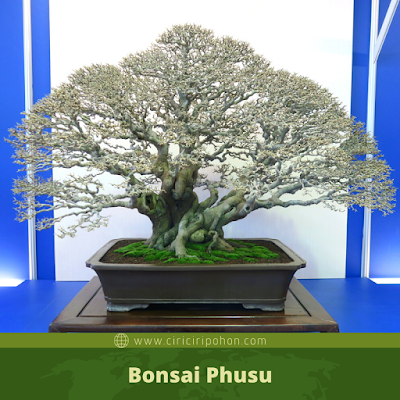 Bonsai Phusu