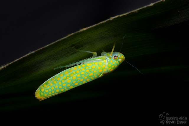Paromenia auroguttata - Leafhopper