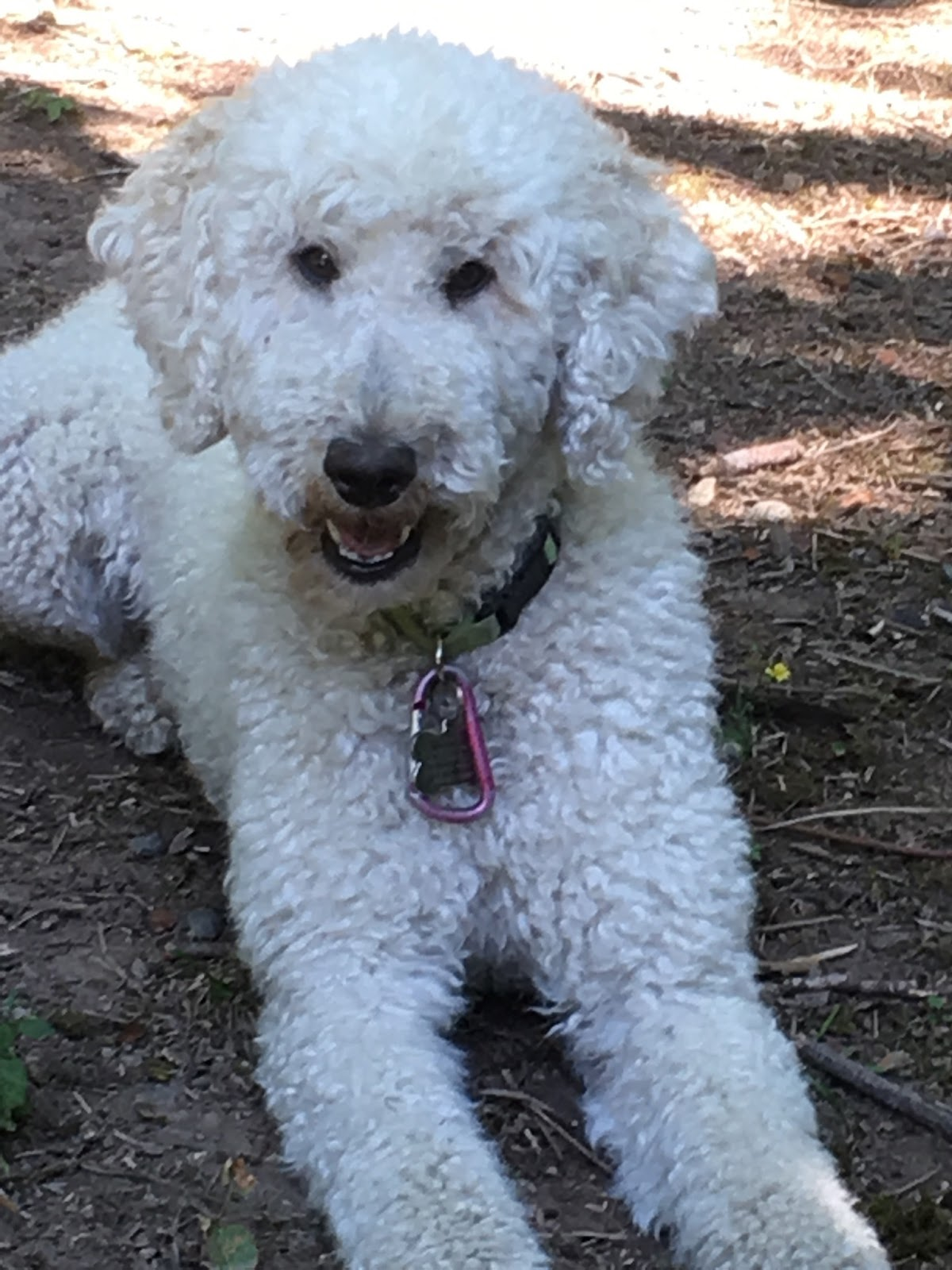 Daisey's Doodles Seattle: F1B Medium Goldendoodles will be ...