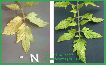 سؤال و جواب في التسميد : ما هي اهم الاعراض التي تظهر على محاصيل الفاكهة نتيجة لنقص وزيادة عنصر النتروجين ؟