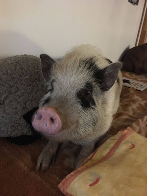 A pig relaxes at home as part of the Family Pig Project