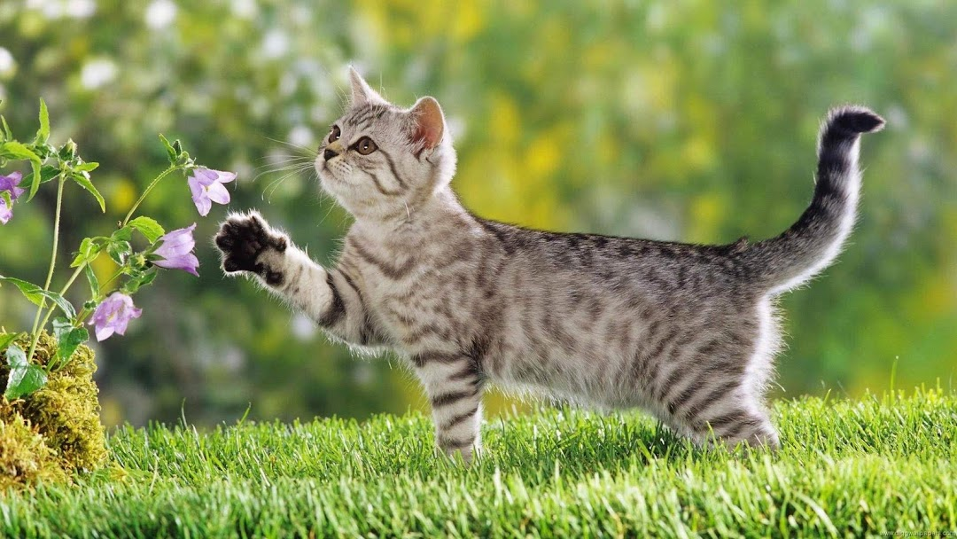 Cat hd wallpaper 5