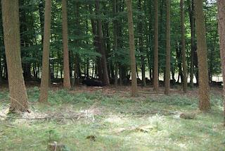 Rinder liegen unter einer Baumgruppe im Schatten