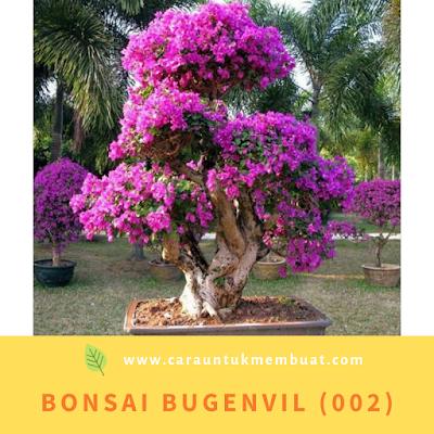 Bonsai Bugenvil (002)
